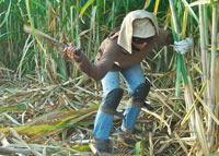 sugar cane worker cutting cane