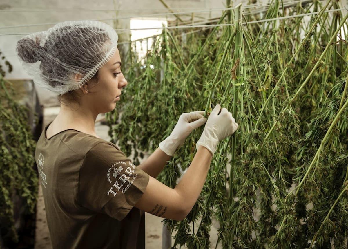 cannabis worker